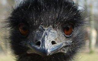 Runaway emu story